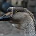 Swan goose portrait