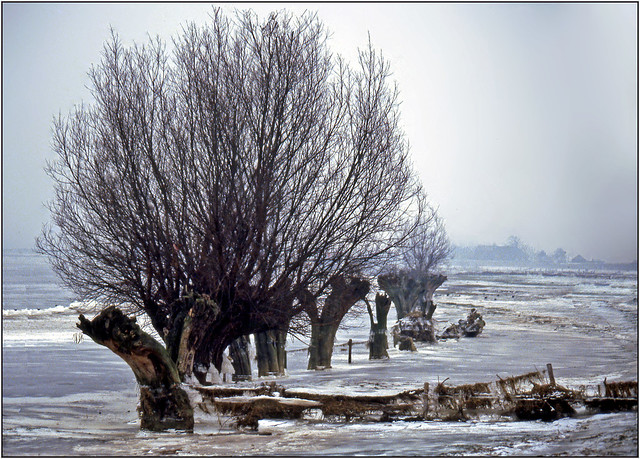 Pollard willows in ice landscape