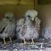 Kestrel Chicks by Glesgastef