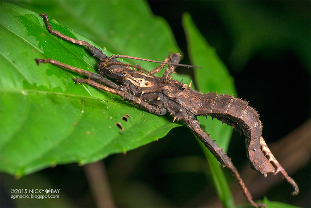 Stick insect (Phasmatodea) - DSC_3920