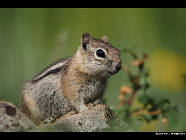 Golden-mantled ground squirrel (Callospermophilus lateralis)