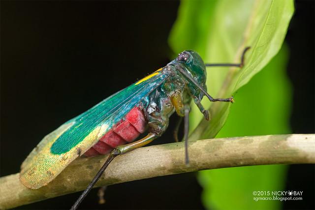 Eurybrachyid planthopper (Eurybrachyidae) - DSC_4597