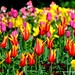 Tulips by christopher.leth