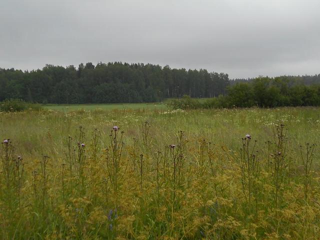 Niittykasveja 8.7.2015 B Espoon Karakallion ja Leppävaaran välinen peltoalue