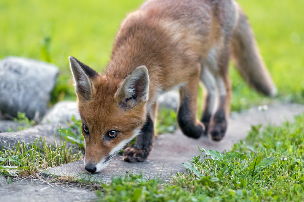 Young wild fox sniffing way