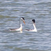 Small photo of Clark's Grebe (Aechmophorus clarkii)