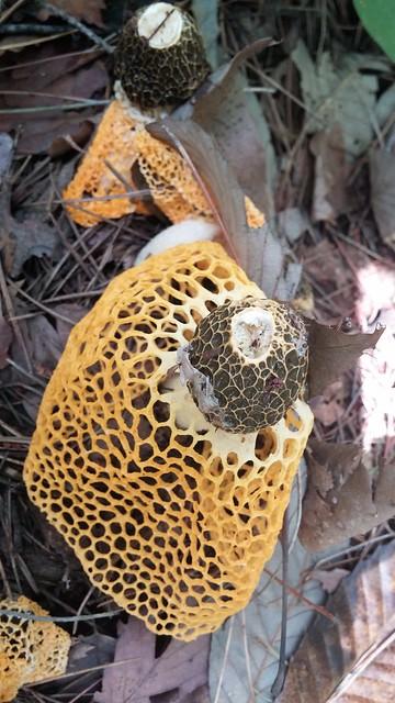 견훤산성-노란망태버섯