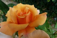 ROSES de TARTAS - Landes.
