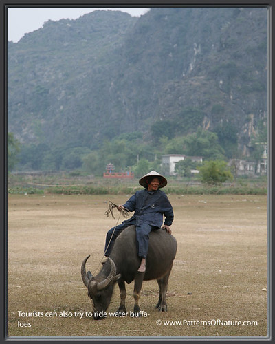Tourists can also try to ride water buffaloes