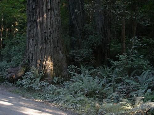 california trees sarah redwood oregontrip