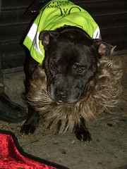 terrier(0.0), dog breed(1.0), animal(1.0), dog(1.0), pet(1.0), mammal(1.0), staffordshire bull terrier(1.0),