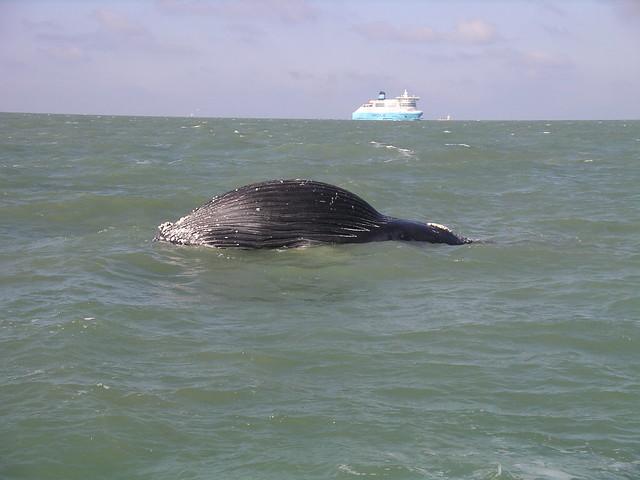 Dead humpback whale - closerDead Humpback Whale