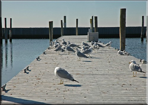 gulls take over the dock by Alida's Photos