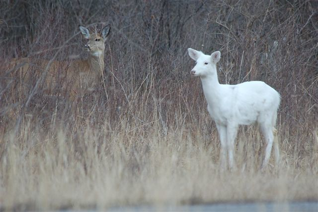 white deer (but it's not albino)