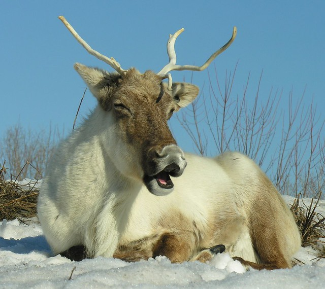 Laughing Caribou