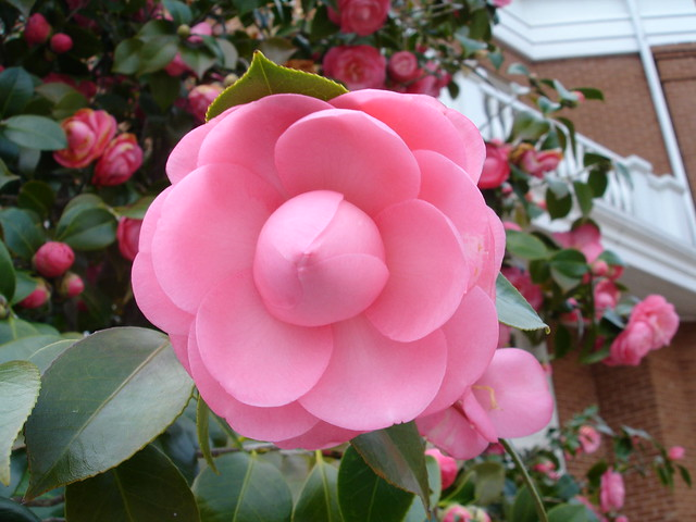 "Perfect ""Pink Perfection"" Camellia, Monroeville AL"