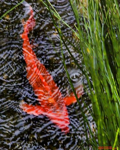 life orange fish nature animal animals interestingness pond flickr wildlife saturation travis koi creature title2 title3 title1 titleit title4 title5 travisprice etravus