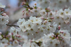cherry(0.0), macro photography(0.0), fruit(0.0), food(0.0), blossom(1.0), flower(1.0), branch(1.0), flora(1.0), produce(1.0), close-up(1.0), cherry blossom(1.0), spring(1.0), petal(1.0),