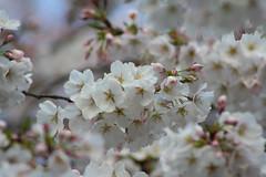 blossom, flower, branch, flora, produce, close-up, cherry blossom, spring, petal,