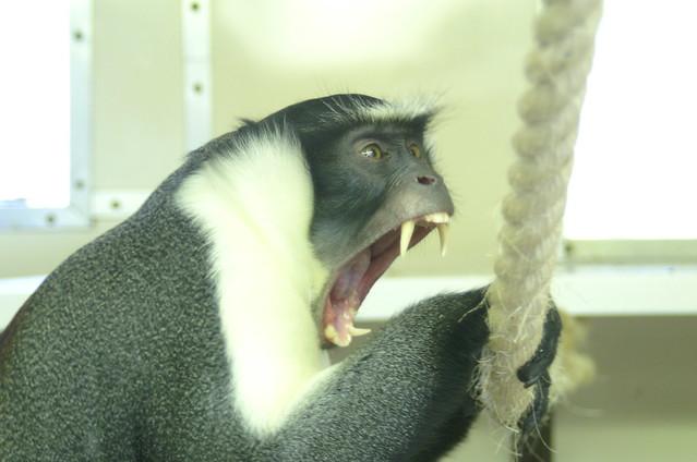 Roloway Monkey Flickr Photo Sharing