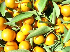 branch(0.0), plant(0.0), meyer lemon(0.0), clementine(1.0), calamondin(1.0), citrus(1.0), yellow(1.0), kumquat(1.0), produce(1.0), fruit(1.0), food(1.0), tangelo(1.0), bitter orange(1.0), tangerine(1.0), mandarin orange(1.0),