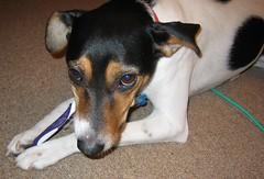 puppy(0.0), praå¾skã½ krysaå™ãk(0.0), pinscher(0.0), toy manchester terrier(0.0), dog breed(1.0), animal(1.0), dog(1.0), brazilian terrier(1.0), pet(1.0), mammal(1.0), miniature fox terrier(1.0), toy fox terrier(1.0), terrier(1.0),
