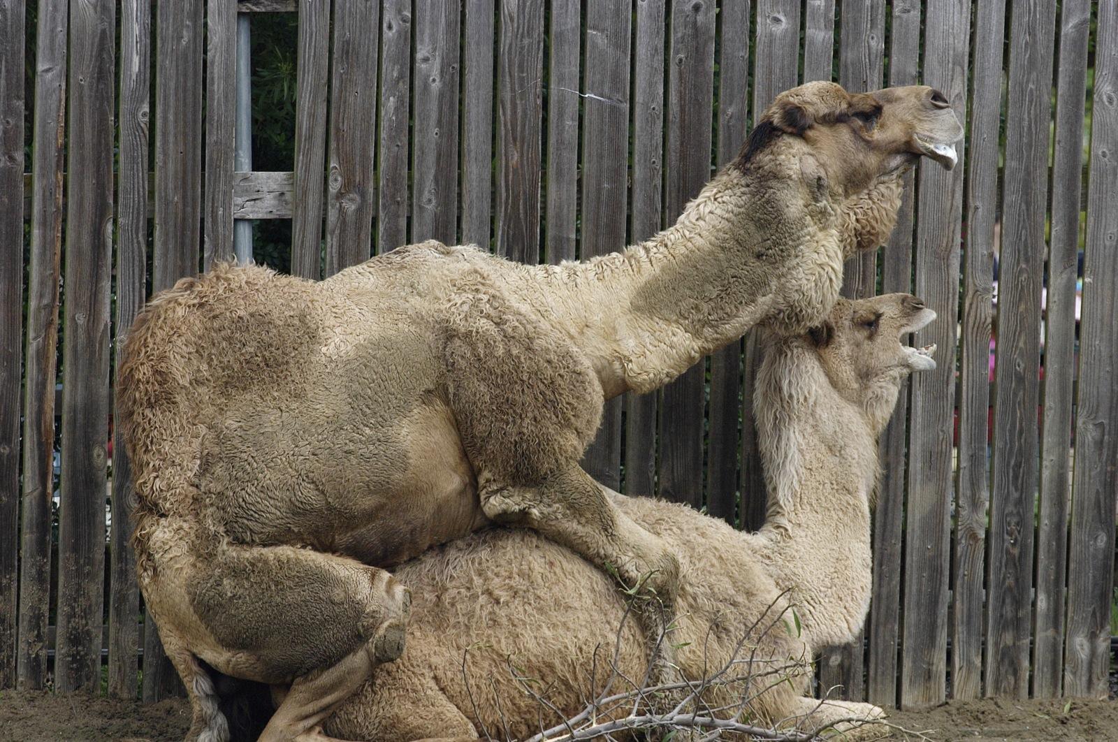 Хуй верблюда фото