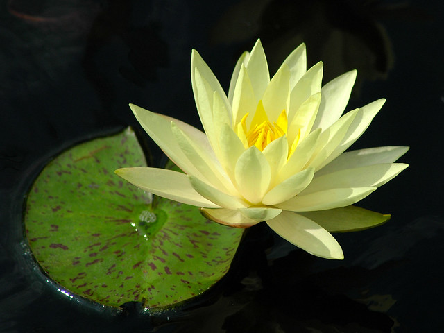 White Water Lily in Maryland