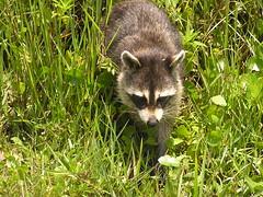 animal(1.0), raccoon(1.0), grass(1.0), mammal(1.0), fauna(1.0), whiskers(1.0), viverridae(1.0), procyon(1.0), wildlife(1.0),
