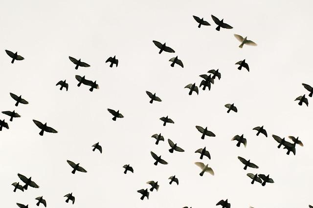 Flock Of Birds | Flickr - Photo Sharing!
