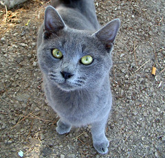 animal, british shorthair, small to medium-sized cats, pet, fauna, chartreux, cat, korat, burmese, carnivoran, whiskers, manx, russian blue, domestic short-haired cat,