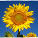 Sunflower Out Standing
