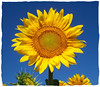 Sunflower Family - Photo (c) Donna, some rights reserved (CC BY)