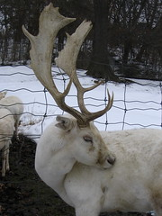 animal, antler, deer, winter, snow, horn, fauna, reindeer,