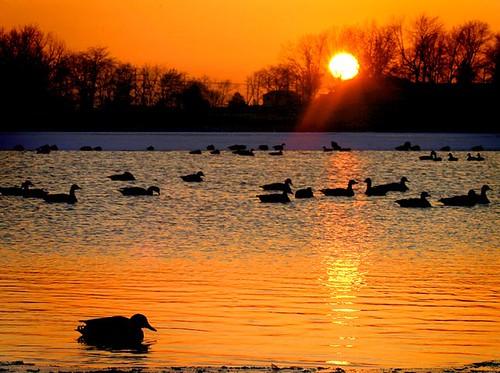 illinois mattoon lakeparadise ducks geese silhouette sunset