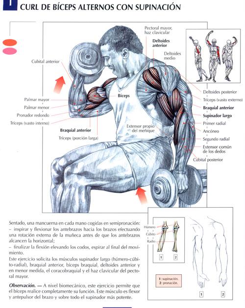 Todos los musculos y todos sus ejercicios para el gym for Ejercicios de gym