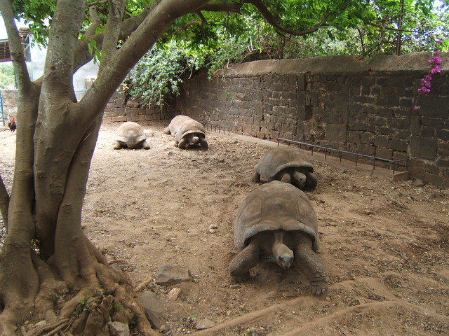 Tortoises maritim hotel mauritius flickr photo sharing for Gardening tools mauritius