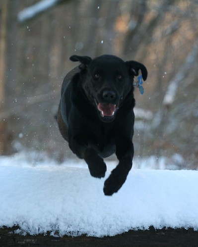black Labrador 'Sierra' leaps over snow