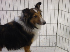 Lucky, a Sheltie in need of a home