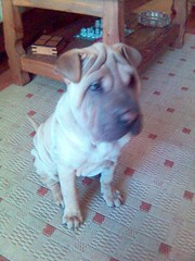 dog breed(1.0), animal(1.0), dog(1.0), pet(1.0), shar pei(1.0), toy bulldog(1.0), carnivoran(1.0), bulldog(1.0),