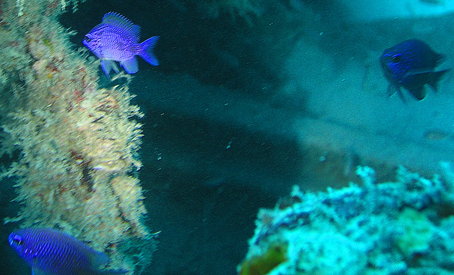 Purple reef fish flickr photo sharing for Purple saltwater fish