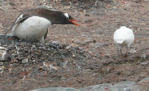 gentoo_and_sheathbill by disgruntled