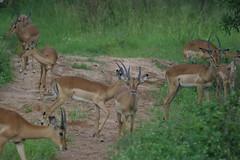 animal, antelope, deer, springbok, fauna, white-tailed deer, impala, grassland, gazelle, wildlife,