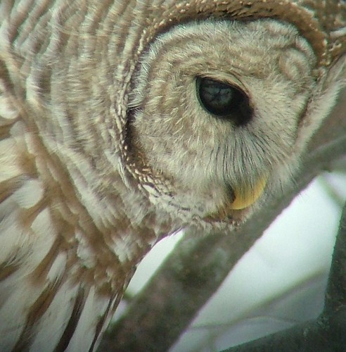 barred owl digscoped