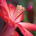 Cactus de Navidad - Photo (c) epiforums, algunos derechos reservados (CC BY-NC-SA)