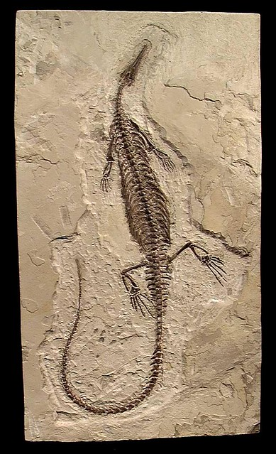 Mesosaurus | Flickr - Photo Sharing!