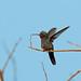 Doubleday's Hummingbird, Tehuantepec, Oaxaca, Mexico por Terathopius