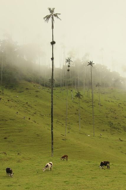 Valle de Cocora.  Colombia.