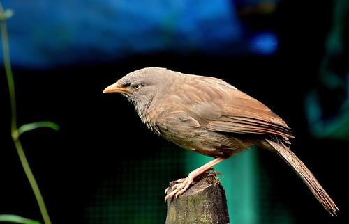 bird junglebabbler nikond5200 bagnanwestbengalindia