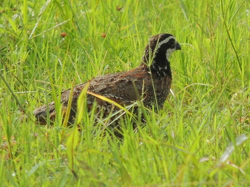 usa bird texas quail bobwhite northernbobwhite